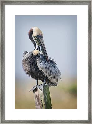 Preening Pelican Framed Print by Bonnie Barry