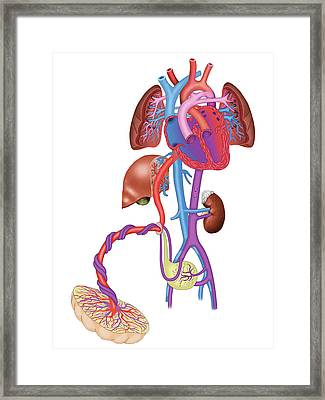 Pregnancy Blood Circulation Framed Print