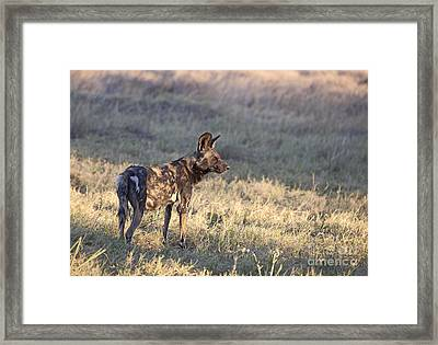 Framed Print featuring the photograph Pregnant African Wild Dog by Liz Leyden