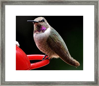 Framed Print featuring the photograph Pregnant Female Caliope With Purple Throat by Jay Milo