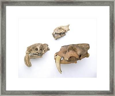 Prehistoric Cat Skulls Framed Print