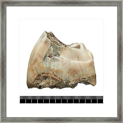 Prehistoric Rhinoceros Tooth Fossil Framed Print by Natural History Museum, London