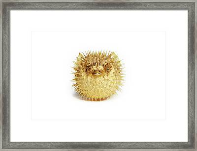 Preserved Pufferfish Framed Print