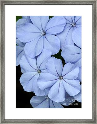 Prettiest Plumbago Framed Print by Sabrina L Ryan