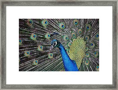 Pretty As A Peacock Framed Print by Paulette Thomas