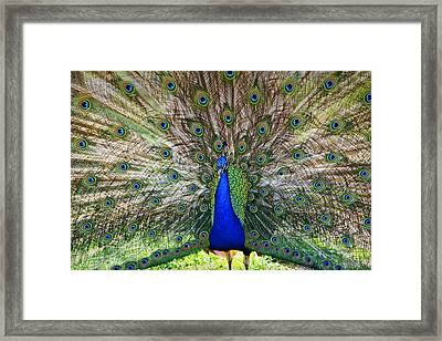 Pretty As A Peacock Framed Print by Tony  Colvin