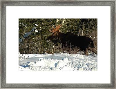 Framed Print featuring the photograph Pretty Bull by Sandra Updyke