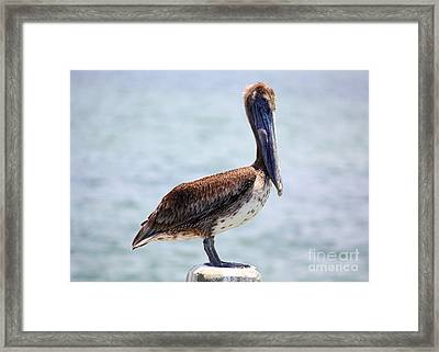 Pretty Gulf Pelican Framed Print