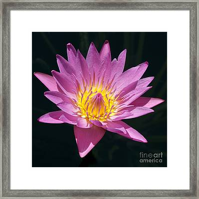 Pretty In Pink And Yellow Water Lily Framed Print by Sabrina L Ryan