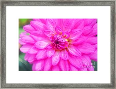 Pretty In Pink Dahlia Framed Print