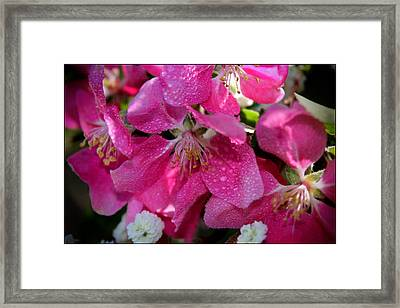 Pretty In Pink IIi Framed Print by Aya Murrells