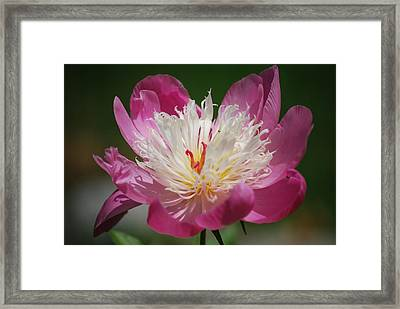 Pretty In Pink Framed Print by Lori Tambakis