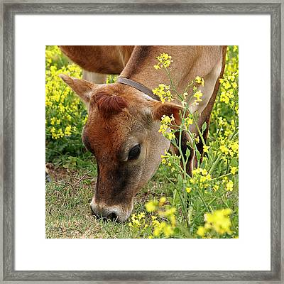 Pretty Jersey Cow Square Framed Print by Gill Billington