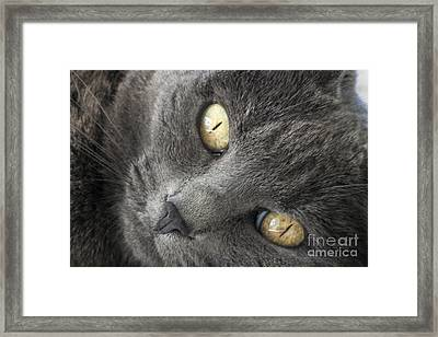 Pretty Kitty Eyes Framed Print by Darleen Stry
