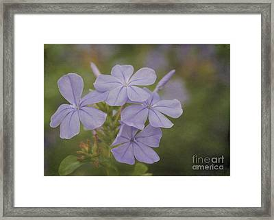 Pretty Lavendar Plumbago Flowers Framed Print by Sabrina L Ryan