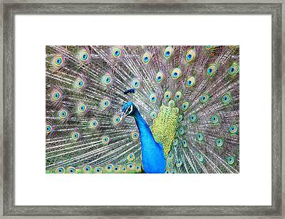 Framed Print featuring the photograph Pretty Peacock by Elizabeth Budd