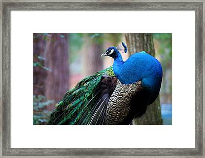 Pretty Peacock Framed Print by Paulette Thomas
