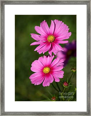 Pretty Pink Cosmos Twins Framed Print