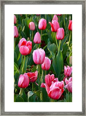 Pretty Pink Framed Print by Joan Bertucci