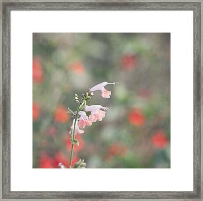 Pretty Pink Salvia Framed Print by Kim Hojnacki