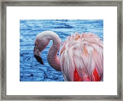 Pretty Plumage Framed Print by Joachim G Pinkawa