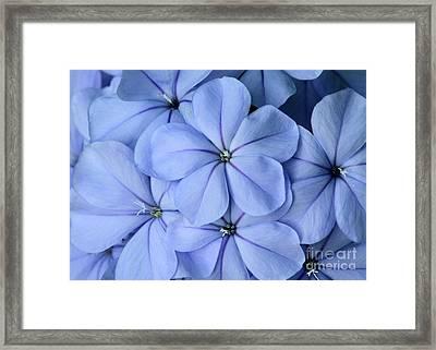 Pretty Plumbago Framed Print by Sabrina L Ryan