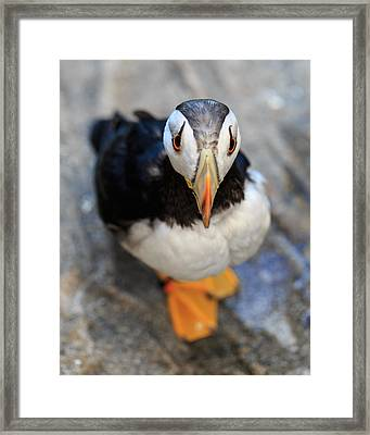 Pretty Puffin Framed Print
