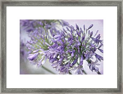 Pretty Purple Lily Of The Nile Framed Print by Sabrina L Ryan