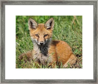 Pretty Red Fox Kit Framed Print by Angel Cher
