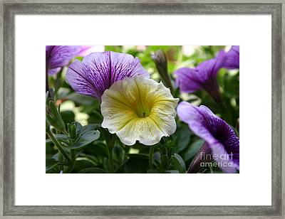 Pretty Yellow And Purple Petunias Framed Print