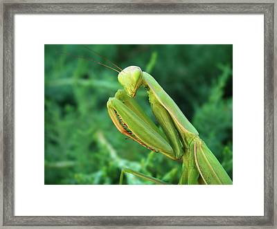 Preying Mantis Framed Print