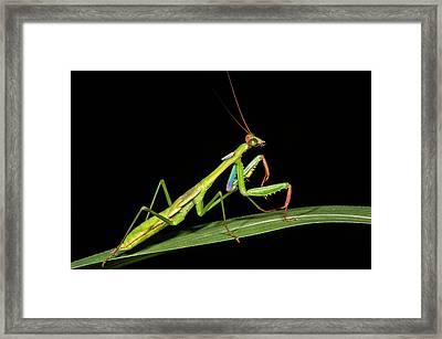 Preying Mantis, Odzala, Kokoua National Framed Print by Pete Oxford