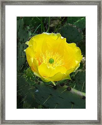 Framed Print featuring the photograph Prickly Pear Cactus by William Tanneberger