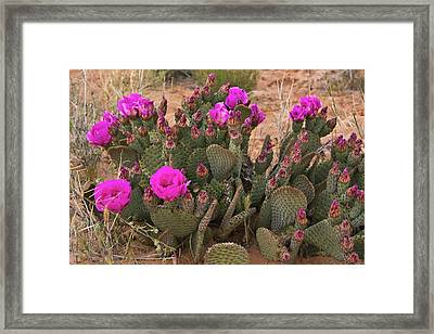 Prickly Pear Cactus, In Bloom, Valley Framed Print