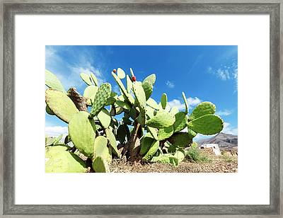 Prickly Pear Cactus Framed Print by Wladimir Bulgar