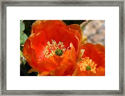 Prickly Pear In Bloom Framed Print
