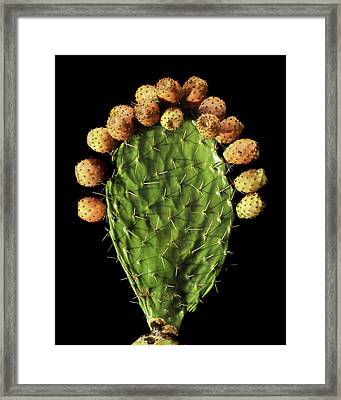 Prickly Pear (opuntia Ficus-indica) Framed Print by Gilles Mermet