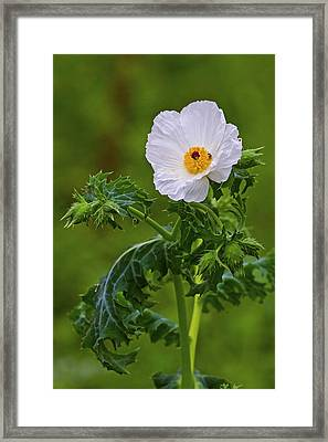 Prickly Poppy Framed Print by Gary Holmes