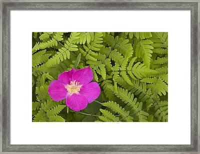 Prickly Rose Bloom In Ferns Far North Framed Print