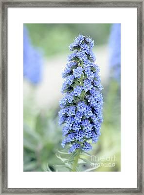 Pride Of Madeira In Blue Framed Print