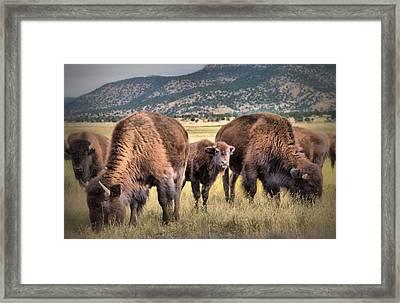 Pride Of The Herd Framed Print