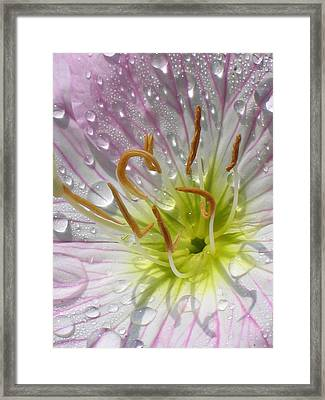 Primrose Framed Print by Jennifer Wheatley Wolf