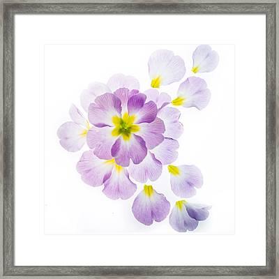 Primrose Petals 1 Framed Print