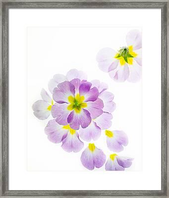 Primrose Petals 2 Framed Print by Rebecca Cozart