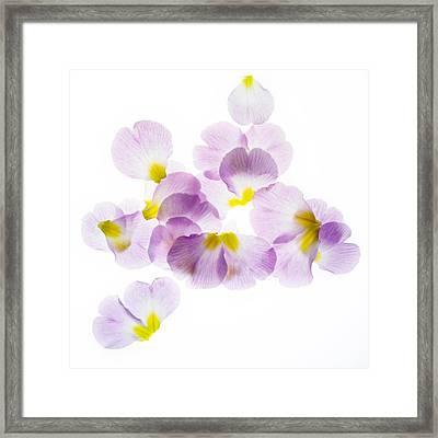 Primrose Petals 3 Framed Print by Rebecca Cozart