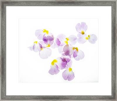 Primrose Petals 4 Framed Print by Rebecca Cozart