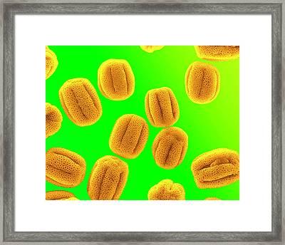 Primrose Pollen Framed Print
