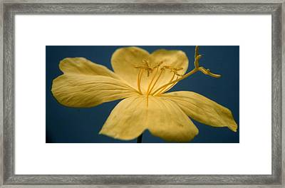 Primrose Framed Print by Retro Images Archive