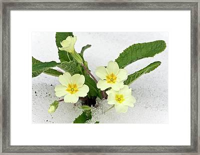 Primroses (primula Vulgaris) In Snow Framed Print