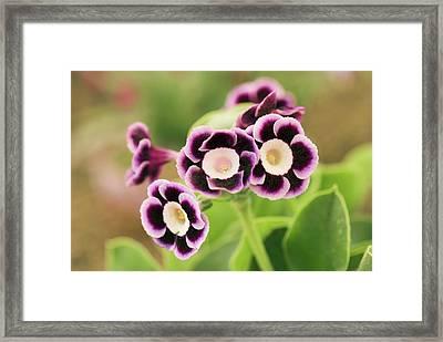 Primula Auricula 'lila' Flowers Framed Print by Adrian Thomas